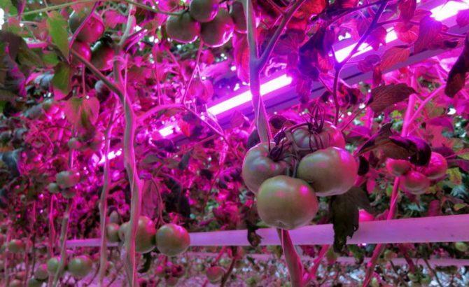 Рост помидоров под светом фитоламп